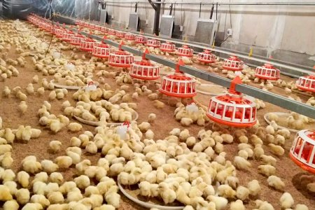 Chicken farm house (4houses / 120m*14m*2.5m 160m*15m*2.5m)