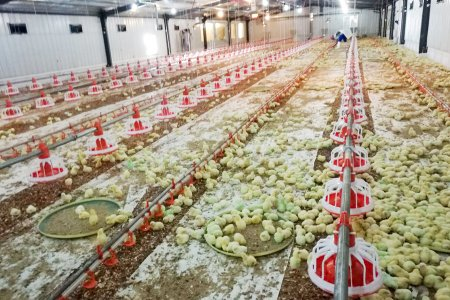 Chicken farm equipment (2 houses /75*12*2.5 meter 1.2kg -- 20,000pcs)